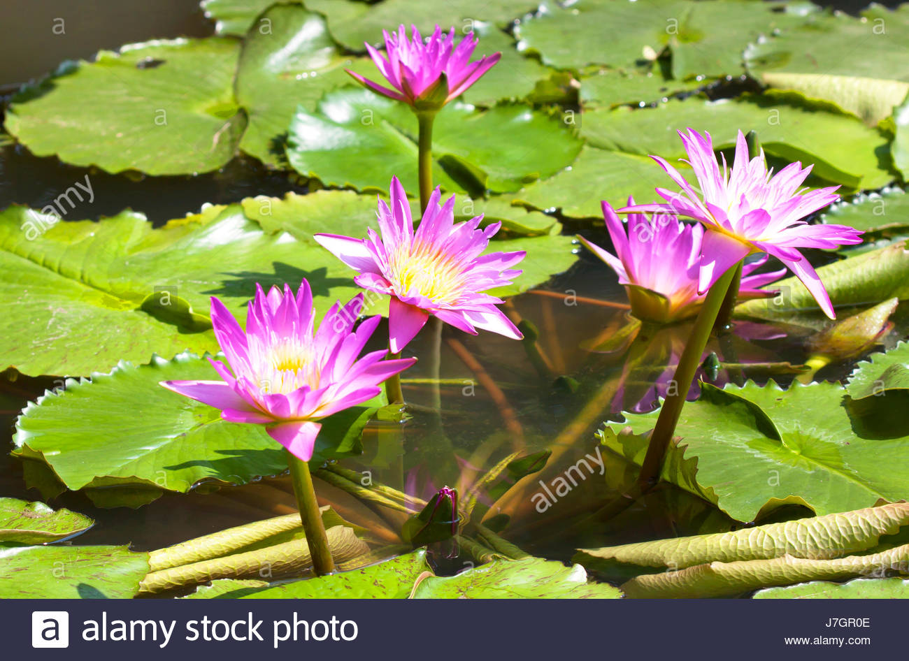 Lotus Flower Is Complemented By The Rich Colors Of The Deep Blue
