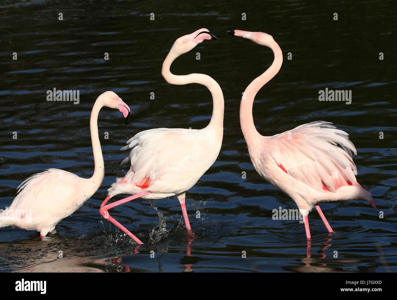 Bickering male European Greater Flamingos (Phoenicopterus roseus), fighting over a female. - Stock Image