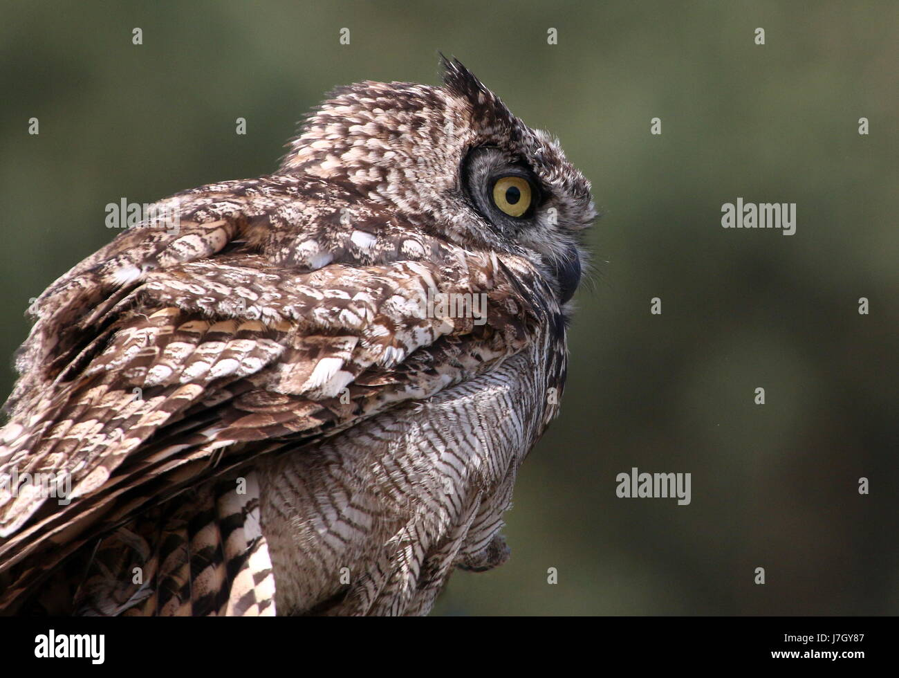 African Spotted Eagle Owl (Bubo africanus), upper body, seen in profile. Stock Photo