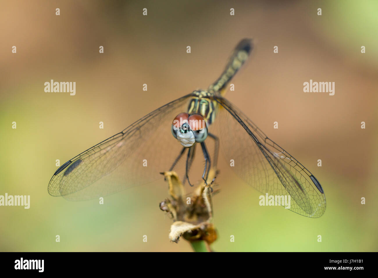 Dragonfly in the garden Stock Photo