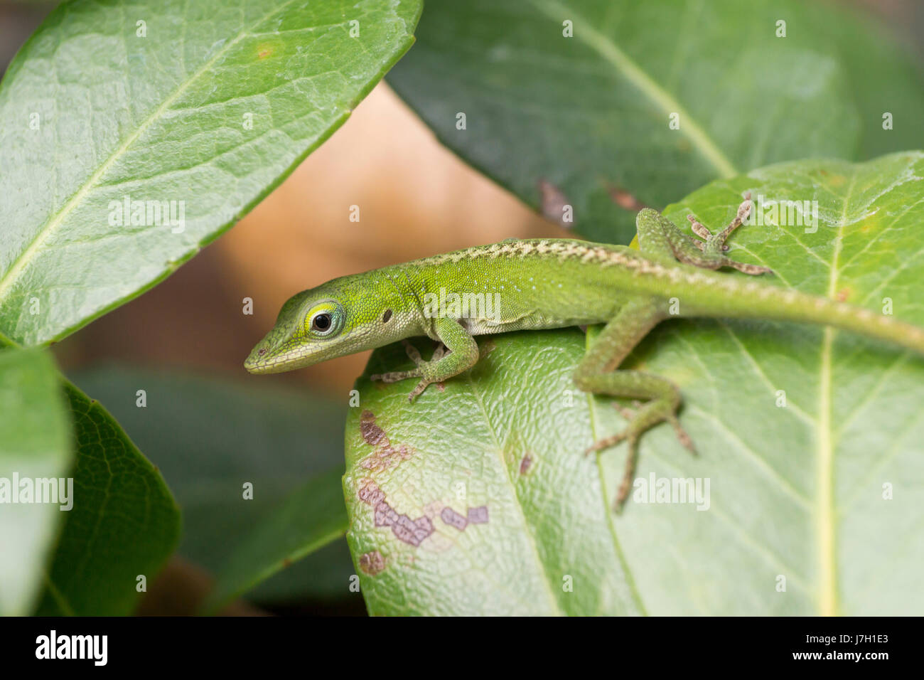 Baby carolina green anole on a leaf Stock Photo