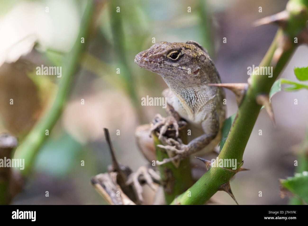 Cuban brown anole on rose bush thorns Stock Photo