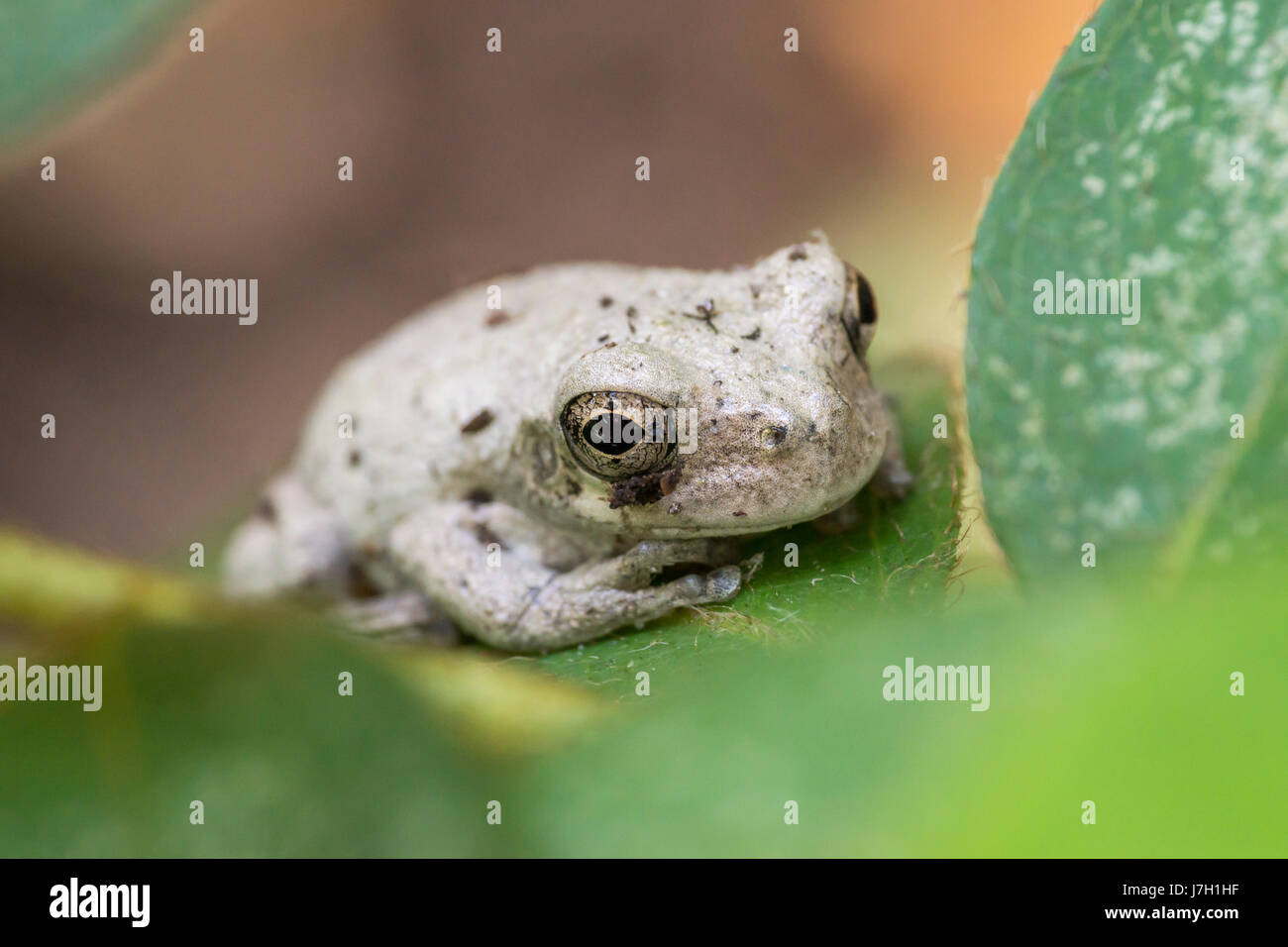 White toad on a leaf in the garden bushes Stock Photo