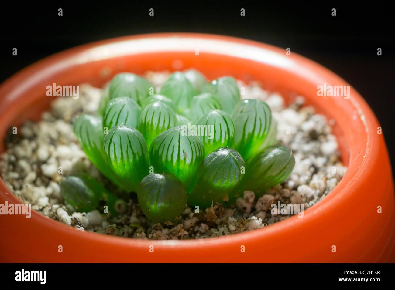Haworthia Cooperi in a cup Stock Photo