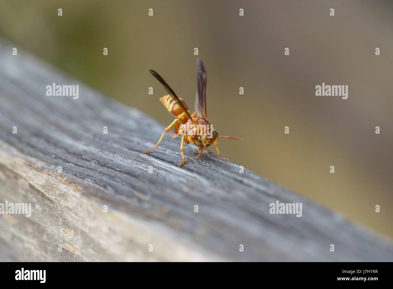 Wasp on wood Stock Photo