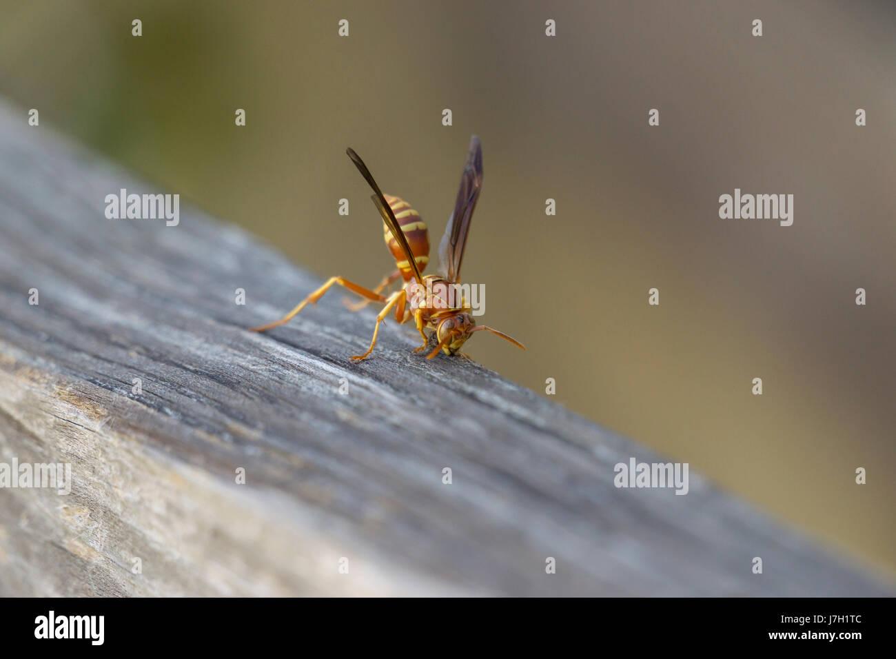 Wasp on wood Stock Photo