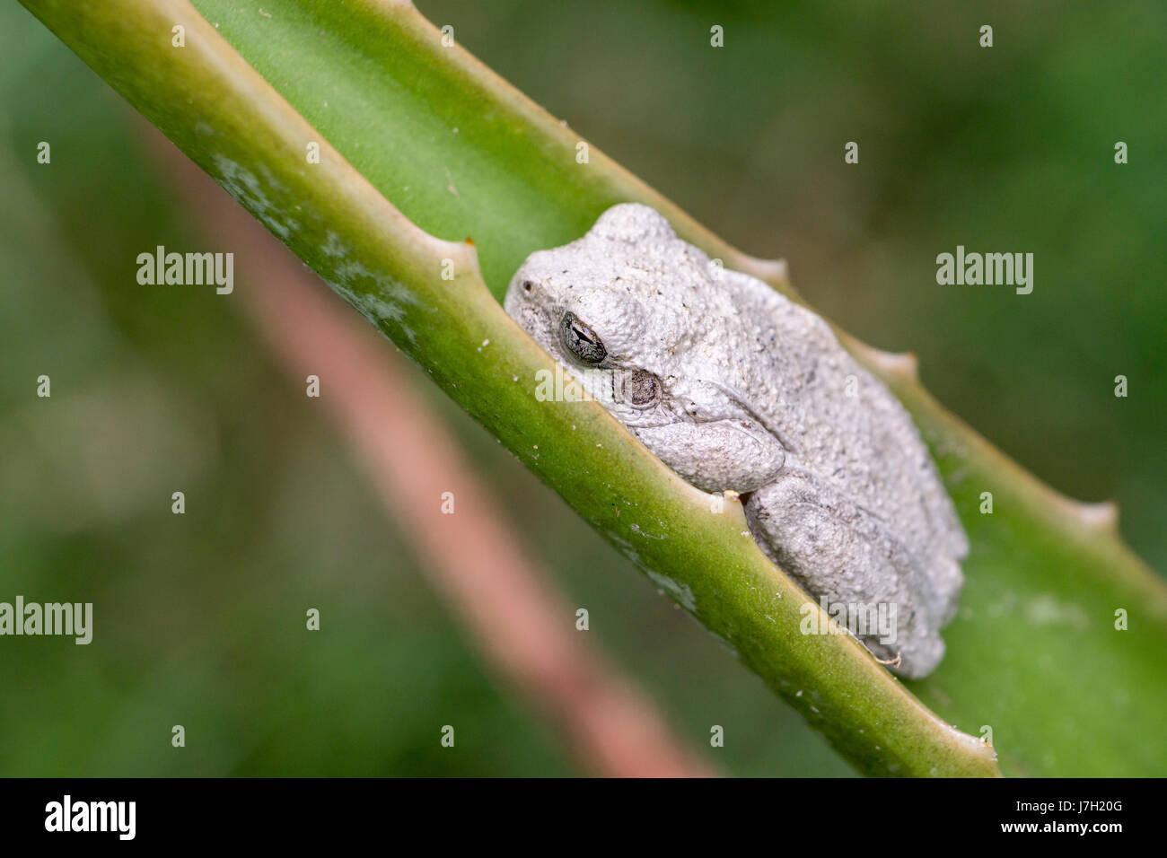 White toad Stock Photo