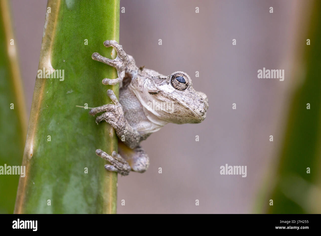 White toad Stock Photo