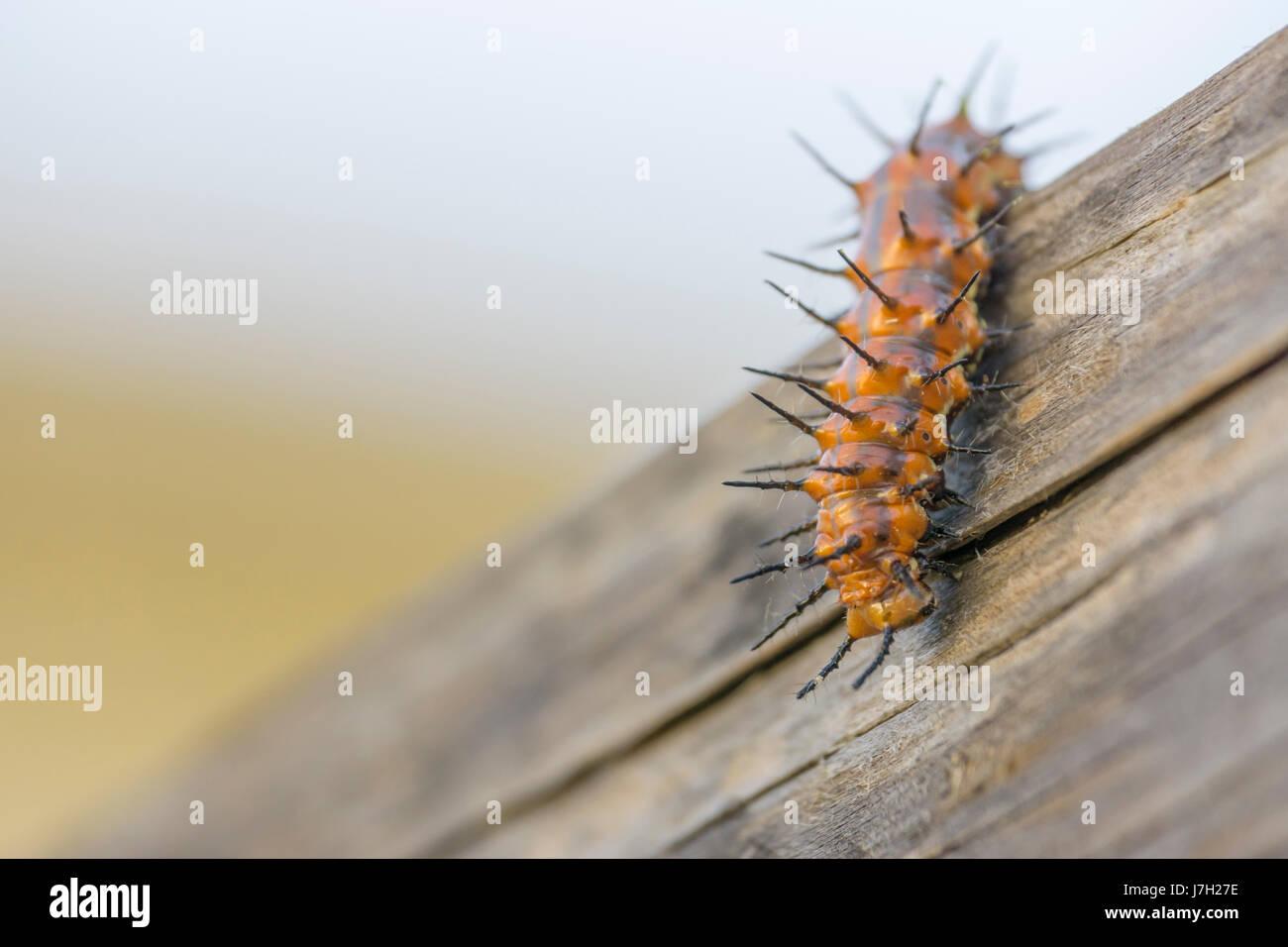 Gulf Fritillary caterpillar Stock Photo