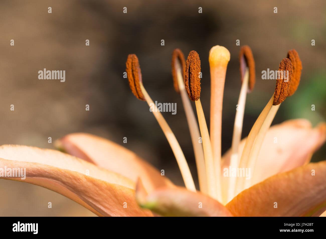 Stamen and stigma on a flower Stock Photo