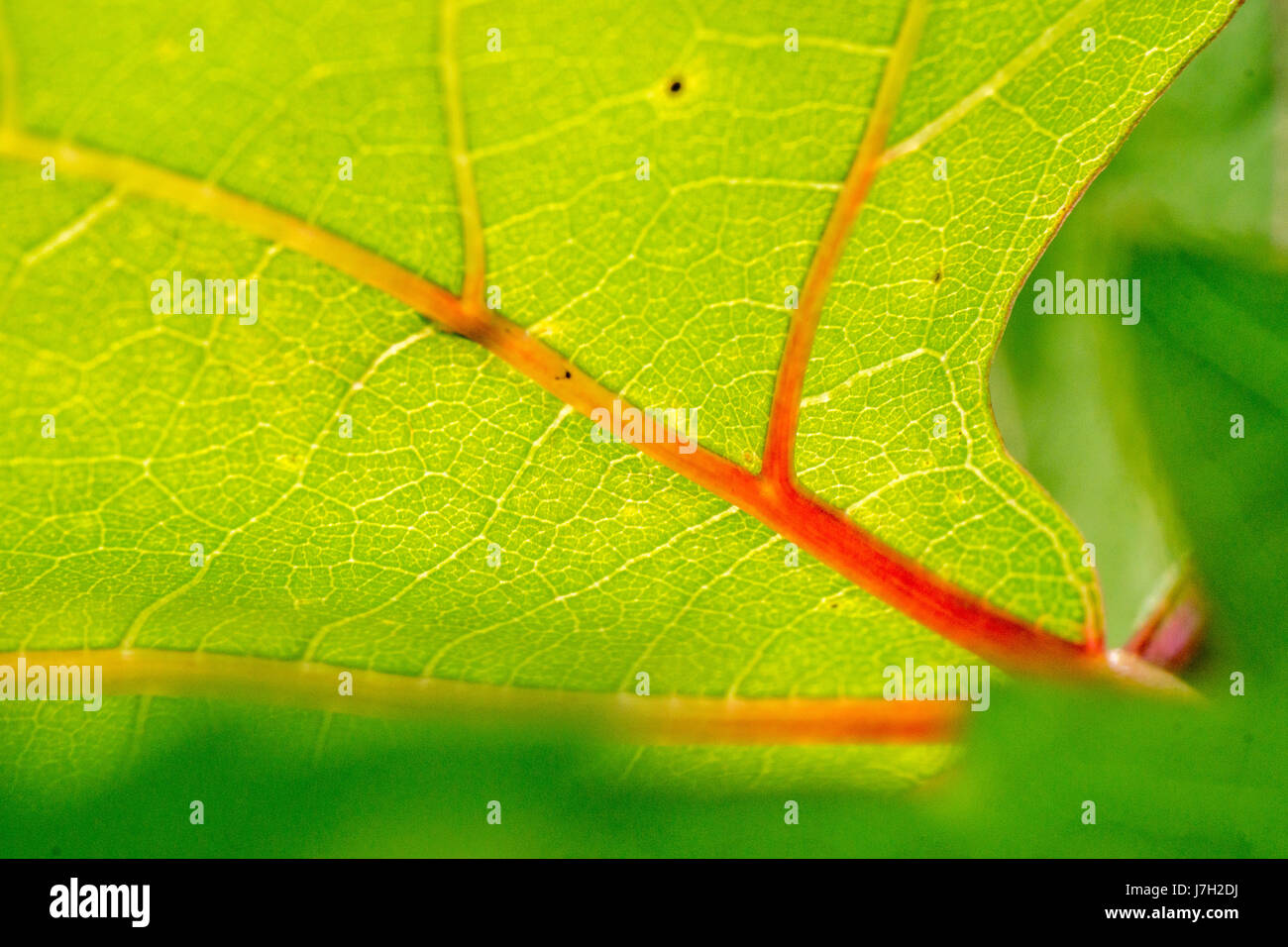Vivid green leaf with red veins Stock Photo