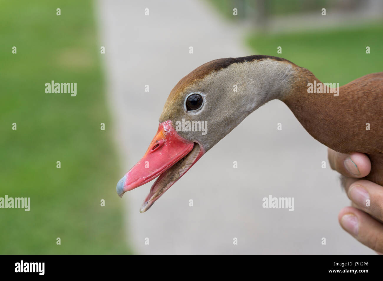 Whistling tree duck Stock Photo