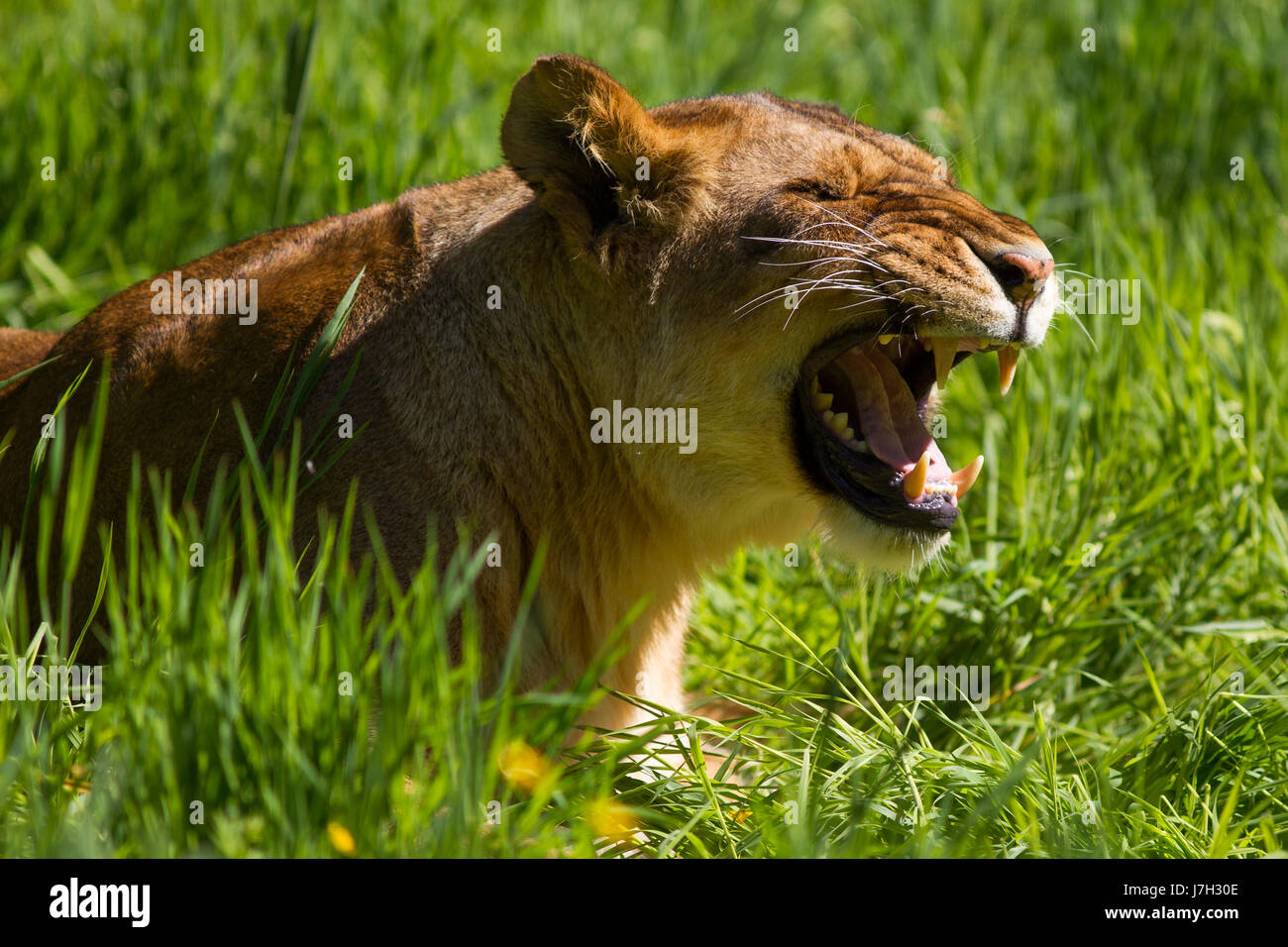 Lion at Knowsley Safari Park, Prescot, Merseyside, UK - Stock Image