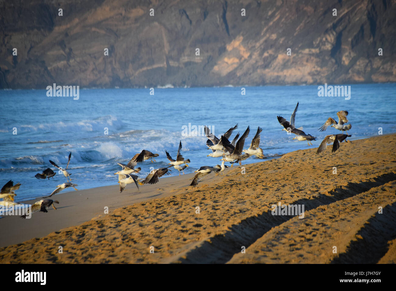 Seagulls flying off the beach at Porto Santo Island, Portugal at early morning - Stock Image