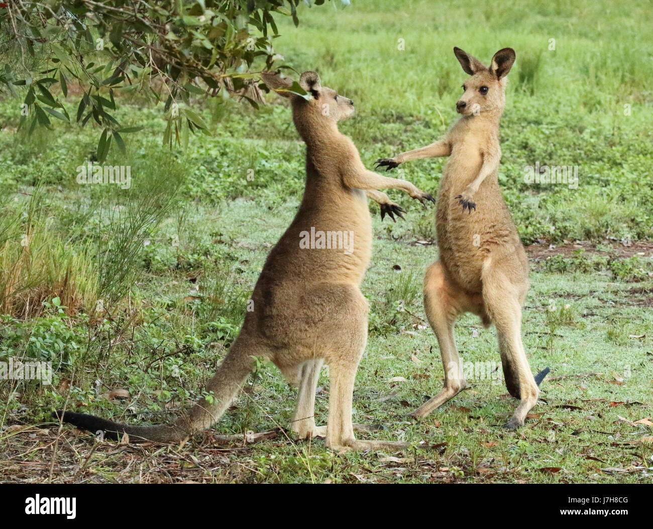 A pair of Eastern Gray Kangaroos fighting and dodging. - Stock Image