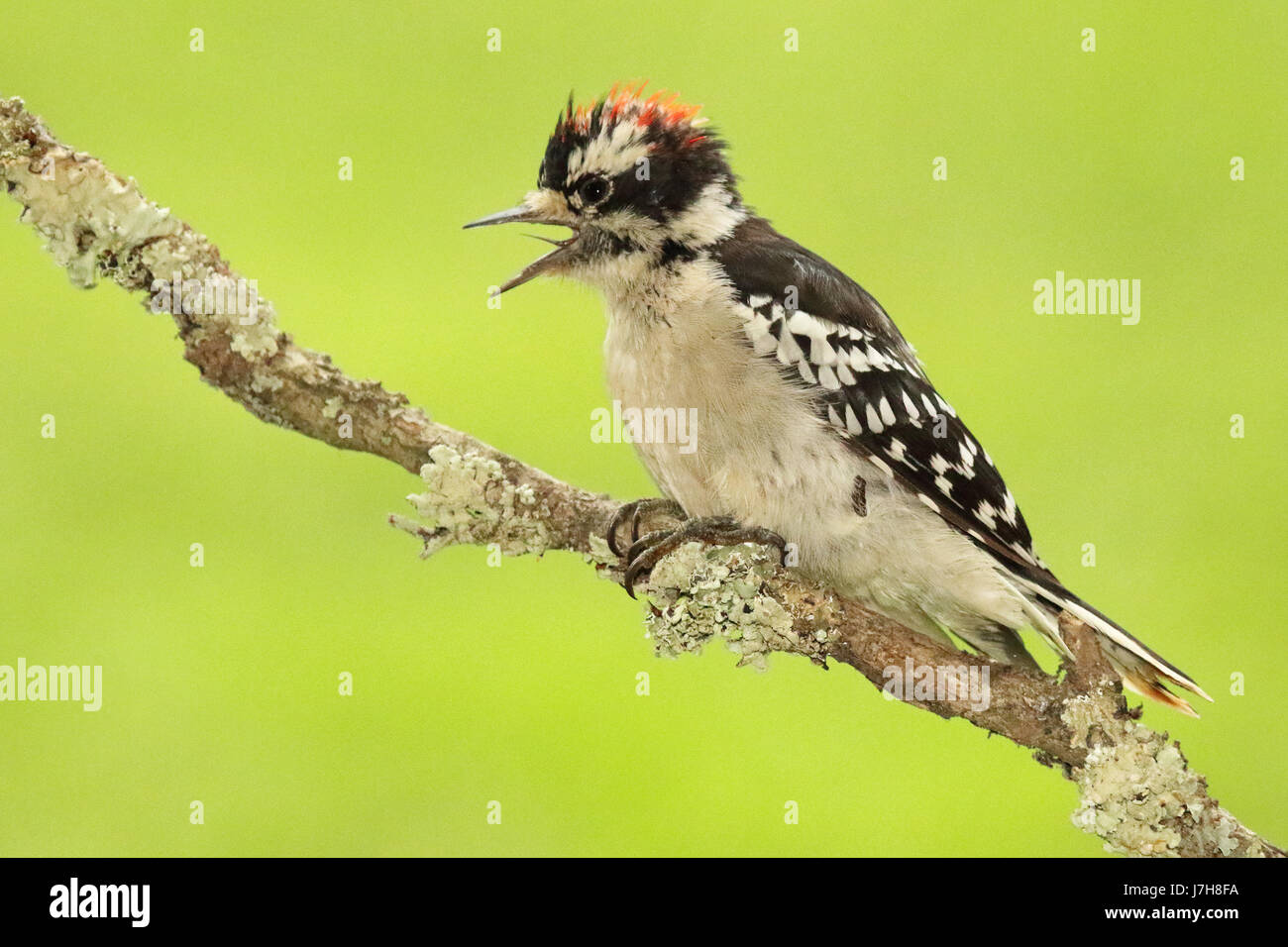 A Downy Woodpecker calling loudly from a forest perch during spring in Wisconsin - Stock Image