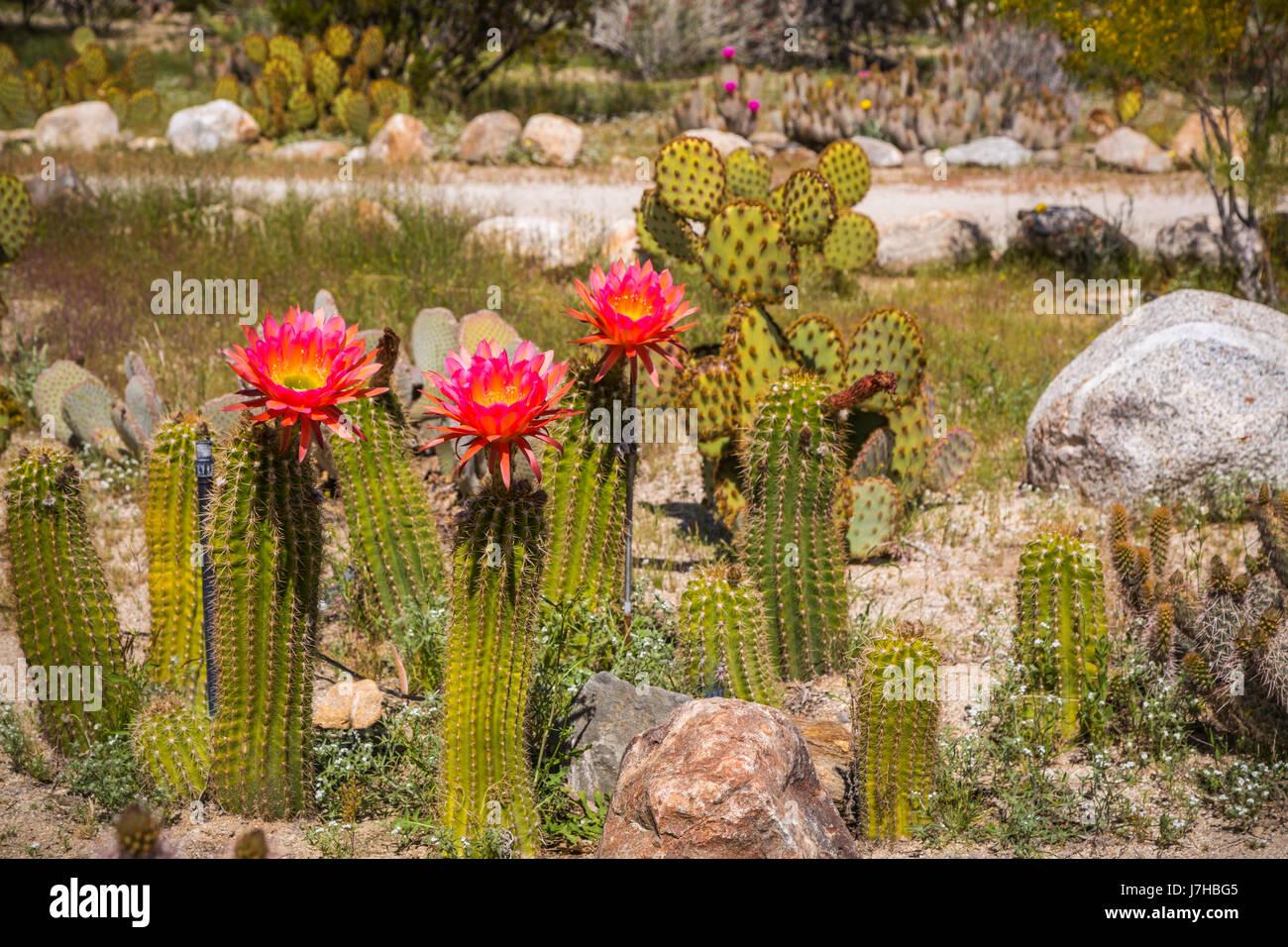 Orange cactus flowers blooming in the desert near borrego springs orange cactus flowers blooming in the desert near borrego springs california usa mightylinksfo