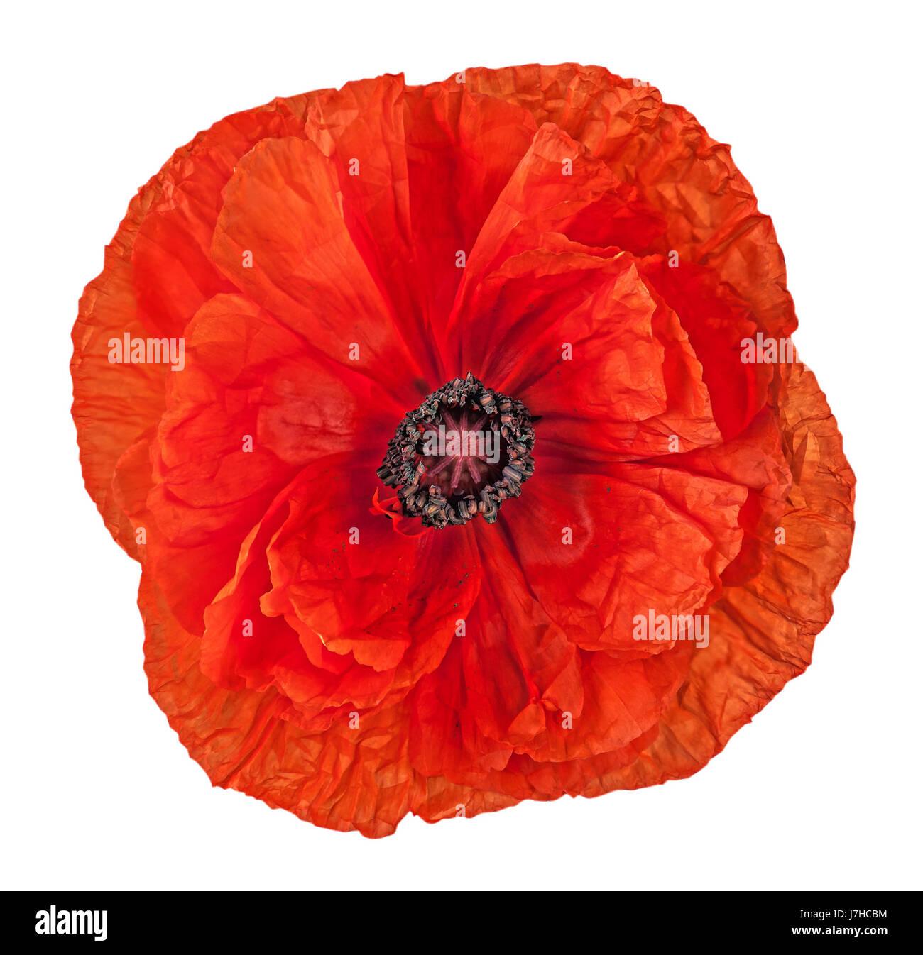 Closeup red poppy flower - Stock Image