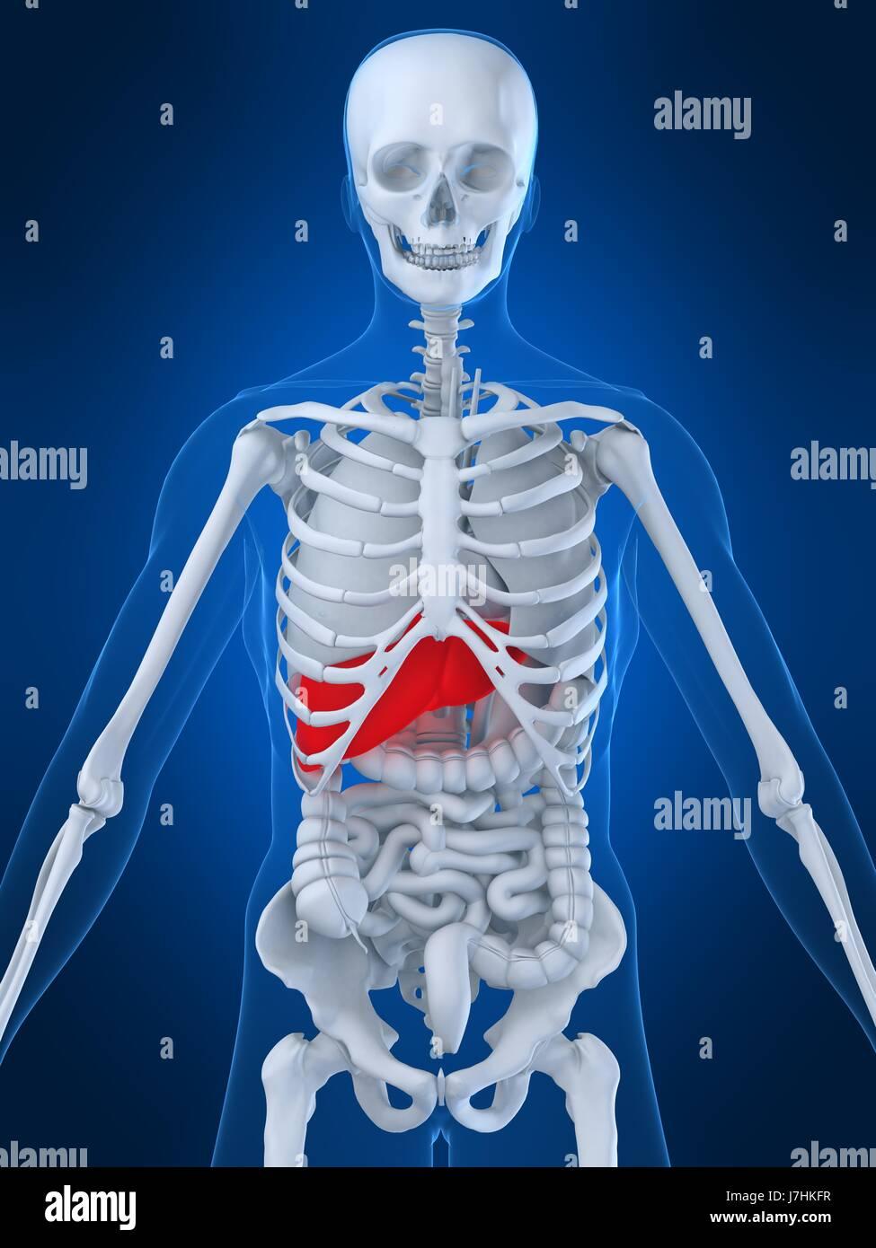 Health Human Human Being Anatomy Liver Organs Body Health