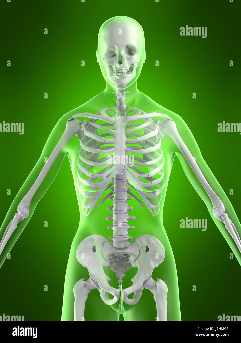 woman female human human being skeleton anatomy body osteoporosis ...
