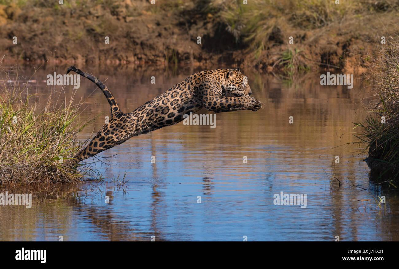 A Jaguar jumps across a water body Stock Photo