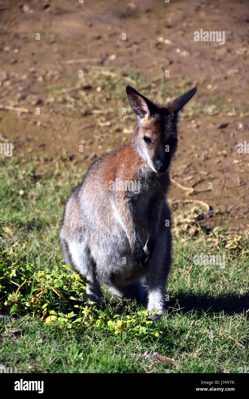 Closeup of Eastern Grey Kangaroo (Macropus giganteus) at Potato Point, NSW Australia - Stock Image