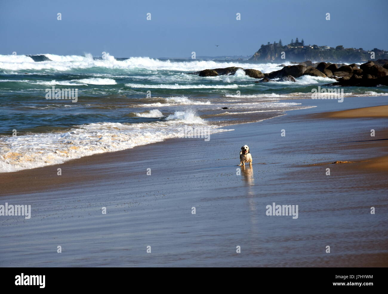 Small dog playing on the beach. Happy dog wet after swimming run with water splashes along sea surf. Actions training - Stock Image