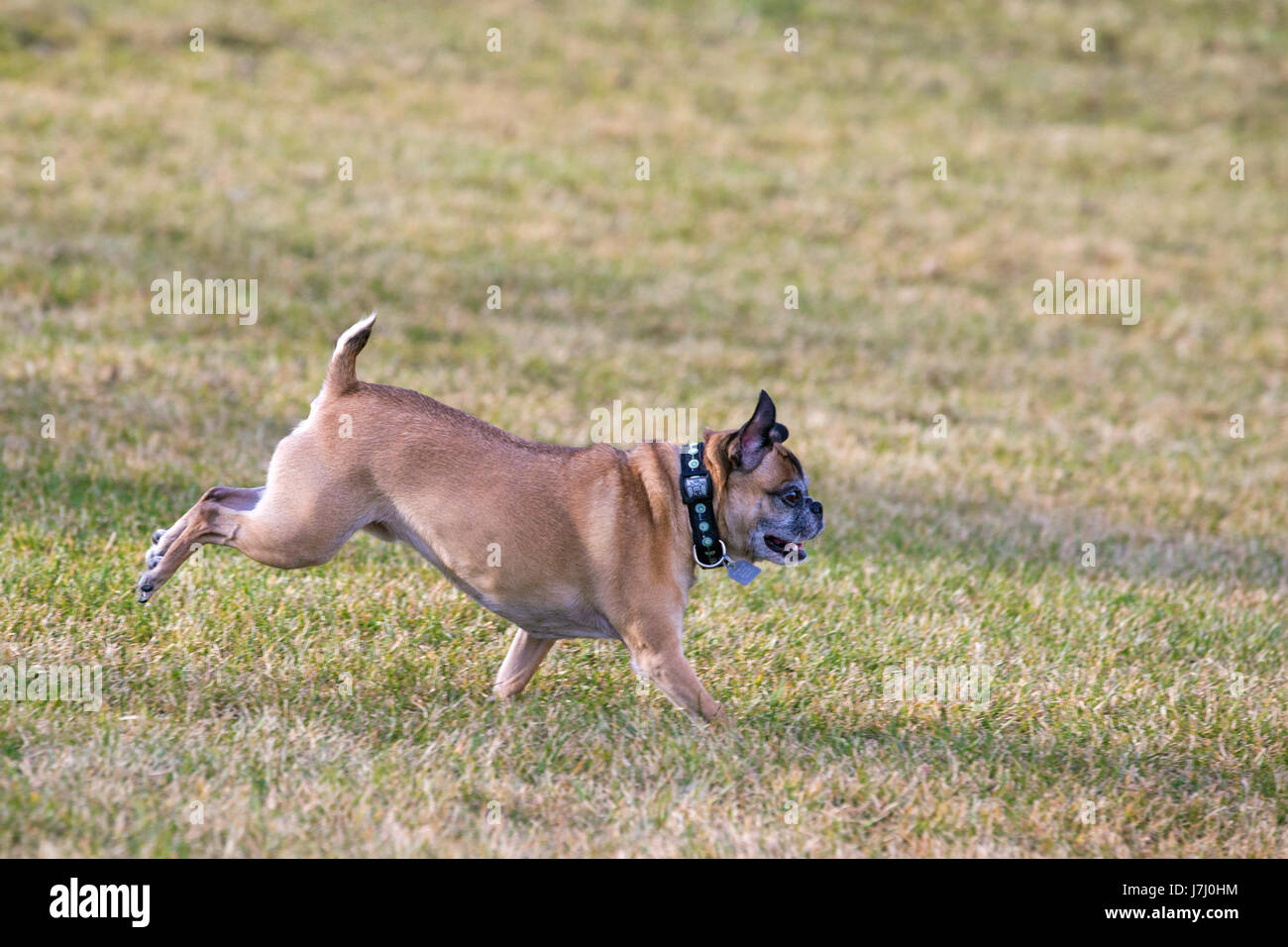 Bugg dog (cross between Boston Terrier and Pug) running free in off-leash area of city park - Stock Image