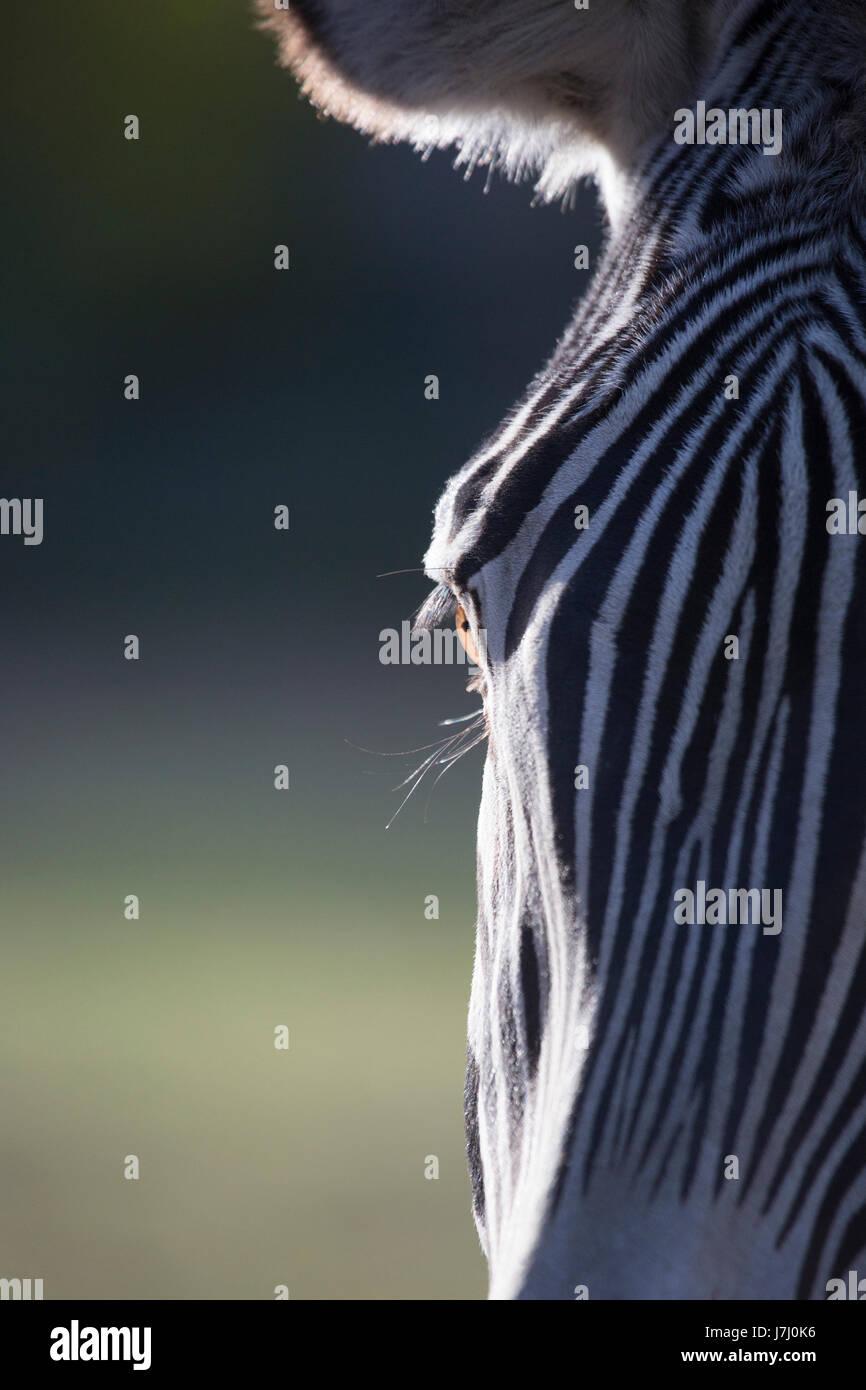 Grevy's Zebra eye (Equus grevyi) - Stock Image