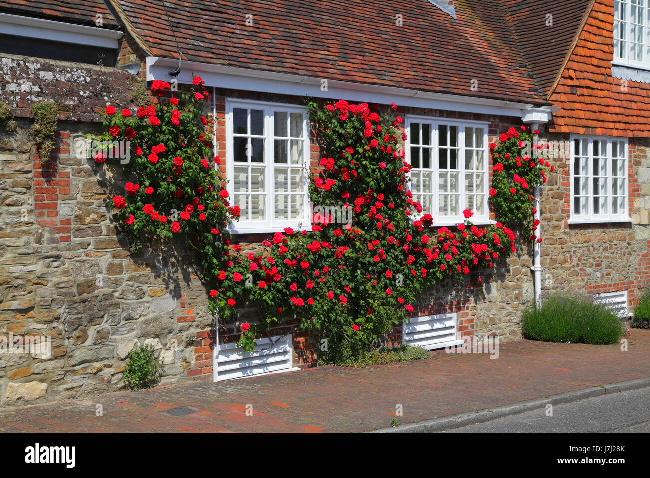 Red roses garlanding windows in Winchelsea, East Sussex, UK, GB - Stock Image