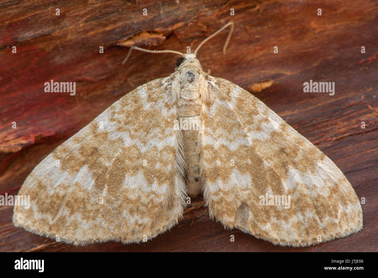 Sandy carpet (Perizoma flavofasciata) moth. Sandy coloured insect in the family Geometridae, at rest on bark - Stock Image