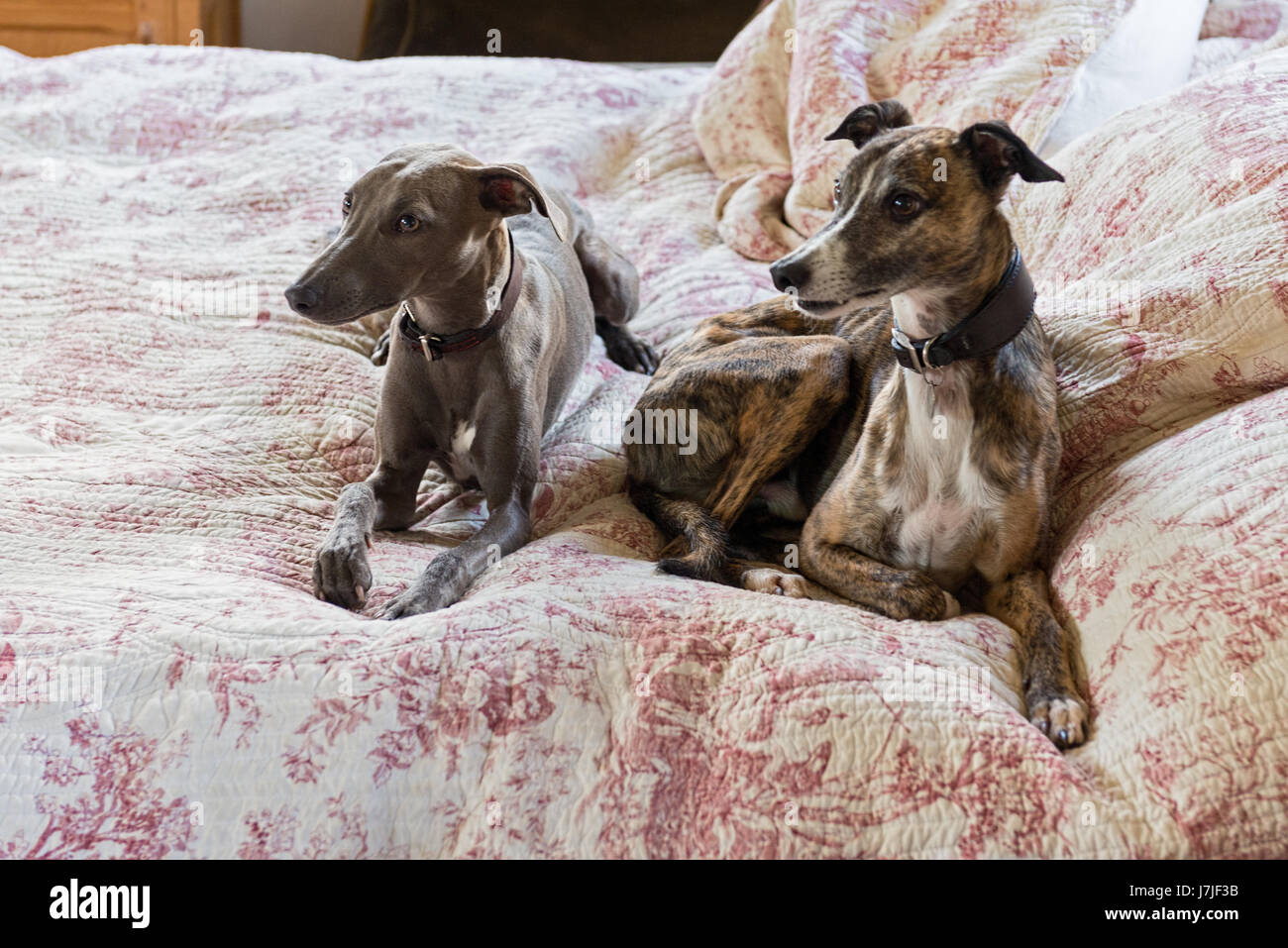 Pair of smooth-coated lurchers on a quilted toile de jouy bed cover - Stock Image