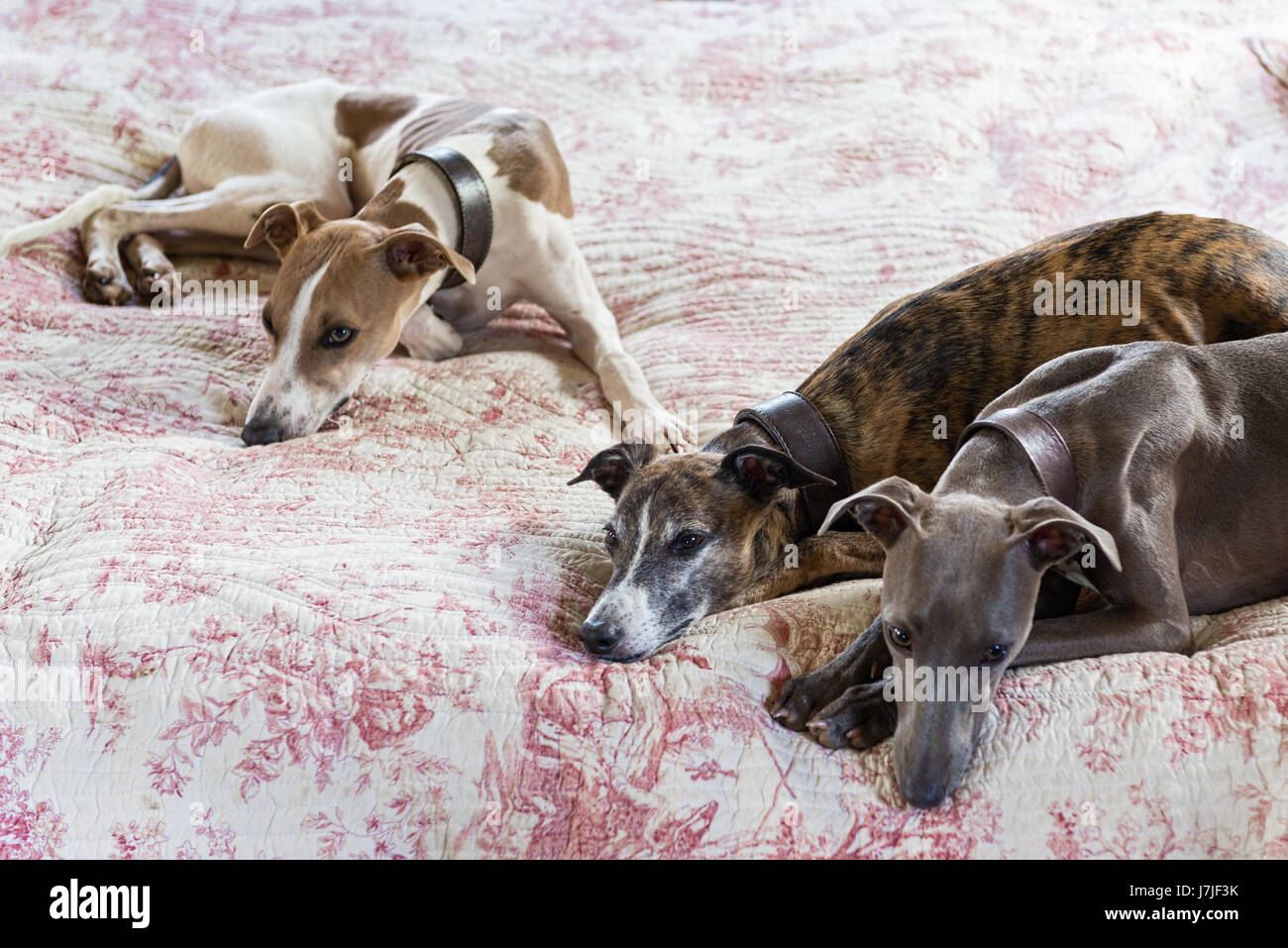 Three smooth-coated lurchers on a quilted toile de jouy bed cover - Stock Image