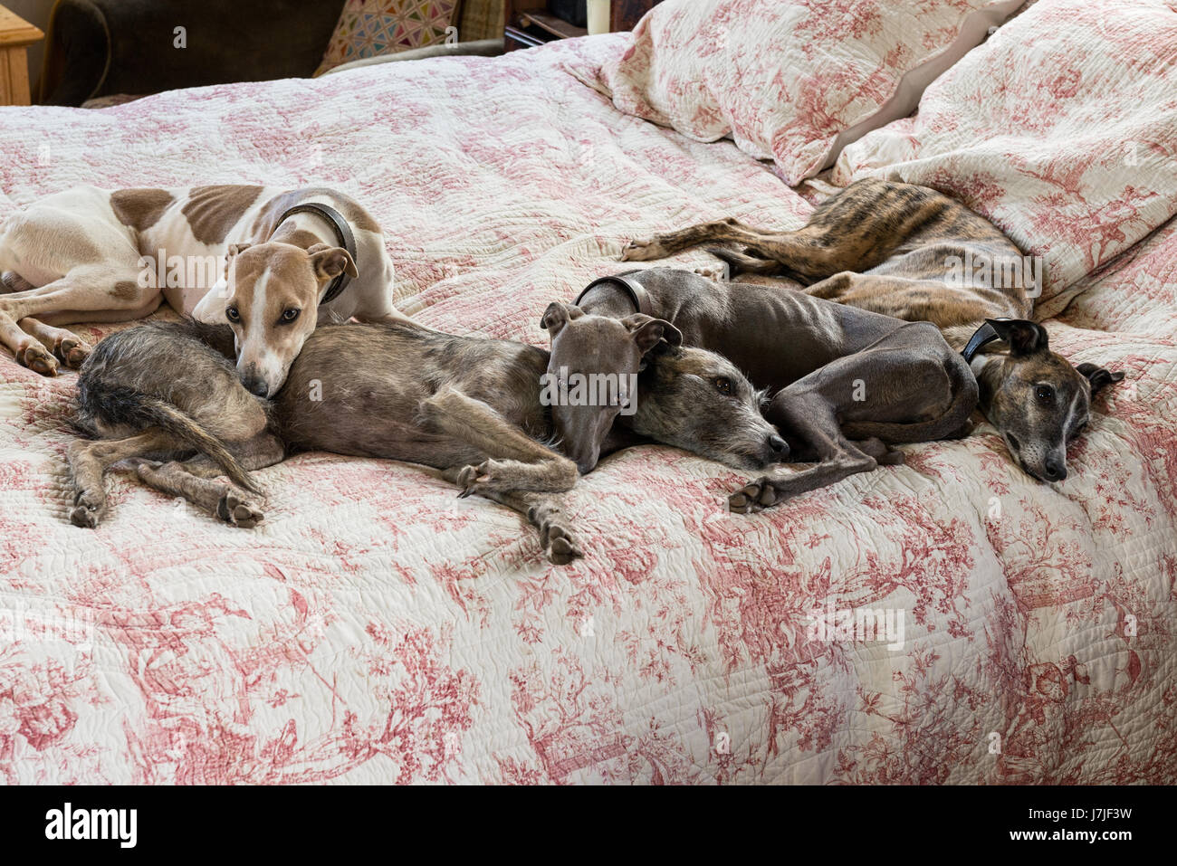 Four small lurchers on a quilted toile de jouy bed cover - Stock Image
