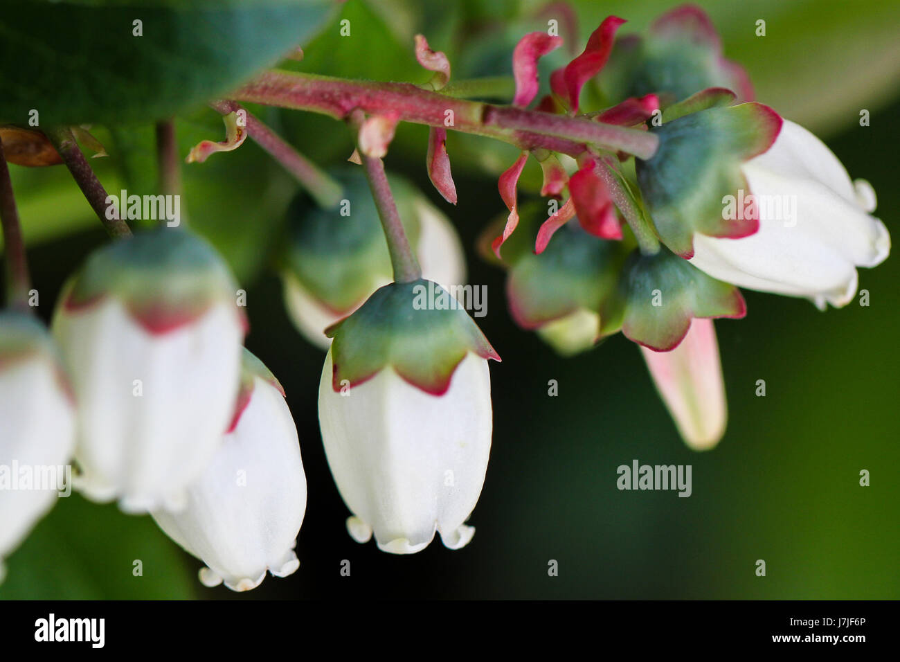 Closeup Of Blueberry Flowers Bright White Bell Shaped Flower Stock