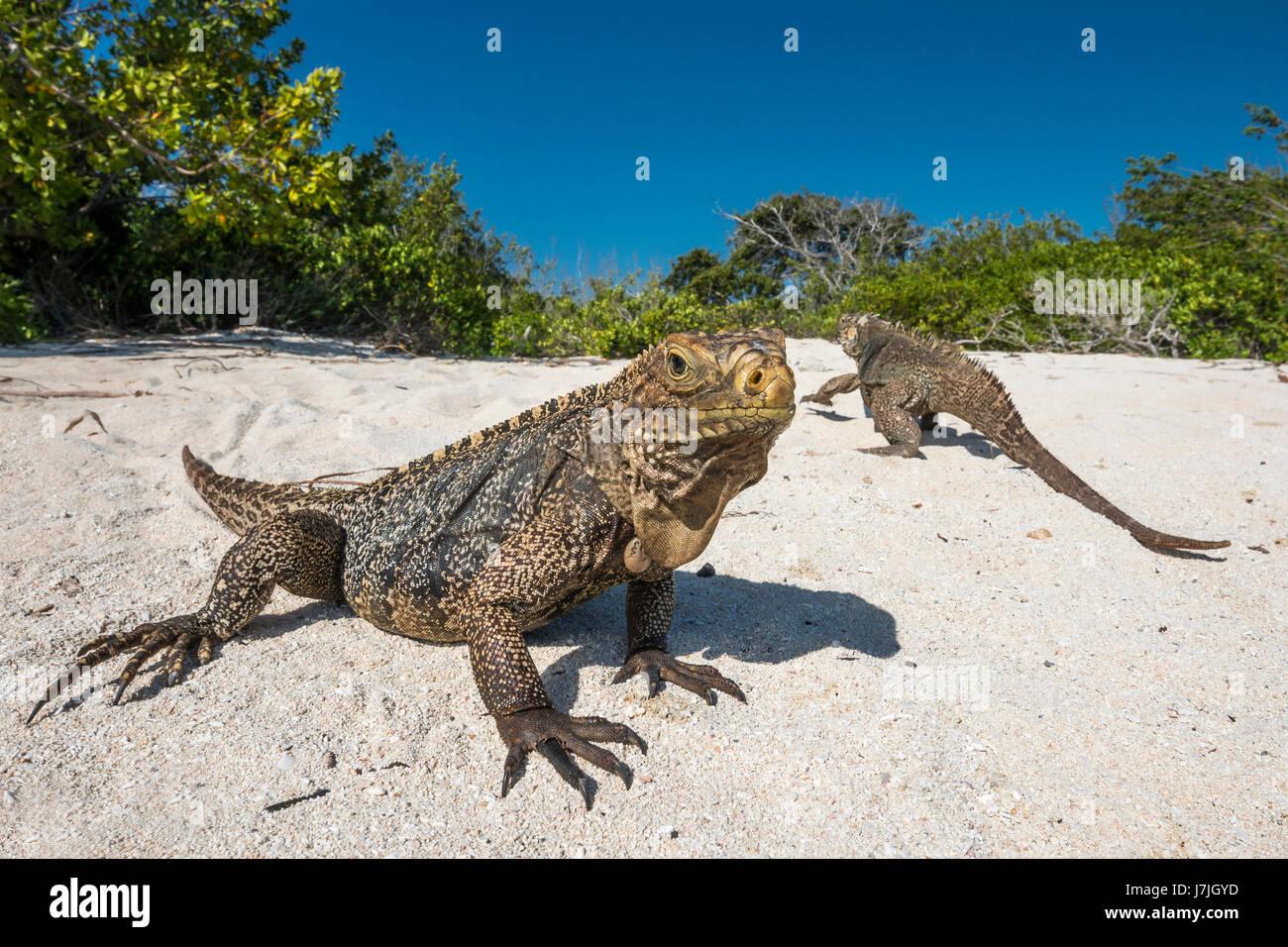 Cuban Rock Iguana, Cyclura nubila, Jardines de la Reina, Cuba - Stock Image