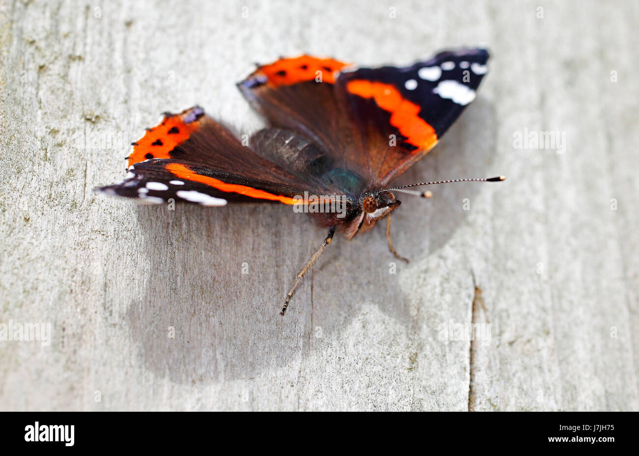 Red Admiral Butterfly - Stock Image
