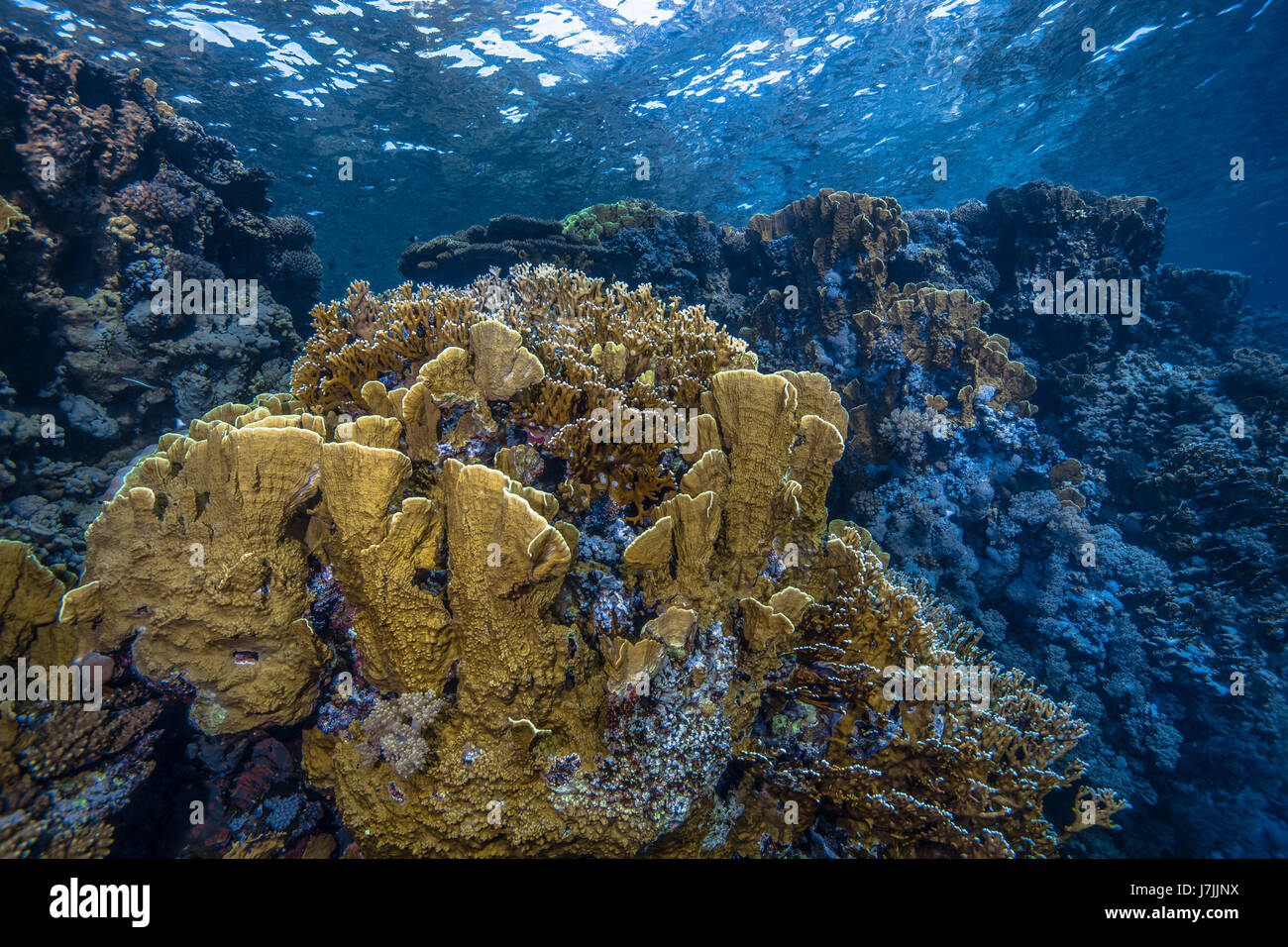Seascape image of blade fire coral (Millepora complanata) colonies along a wall reef in the Red Sea off the coast - Stock Image
