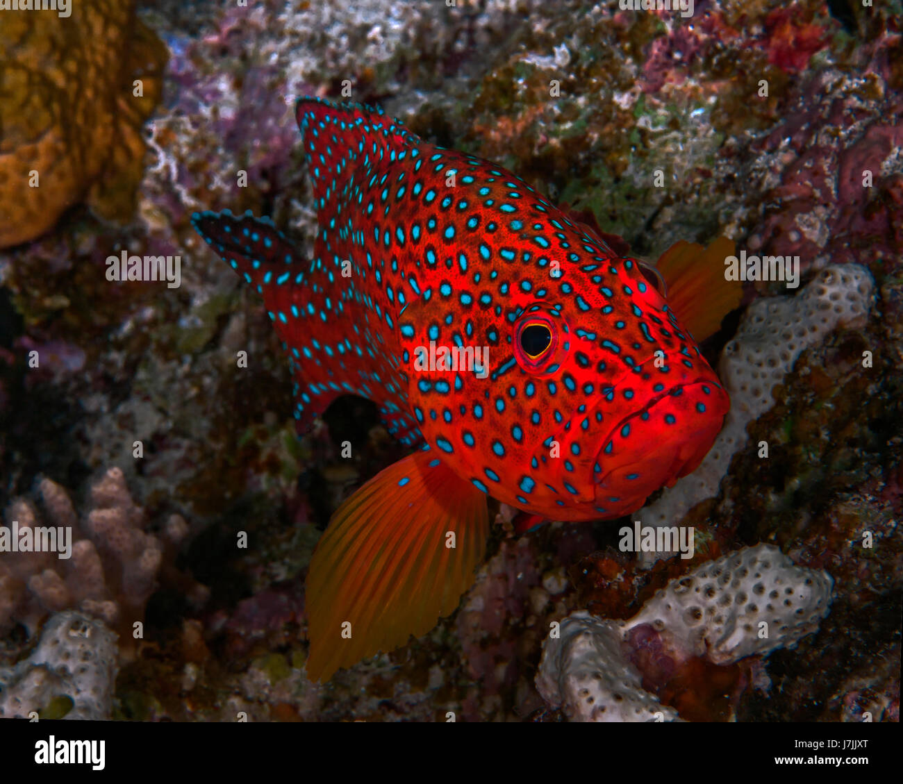 Bluespotted grouper peers from its lair in the coral reef. - Stock Image