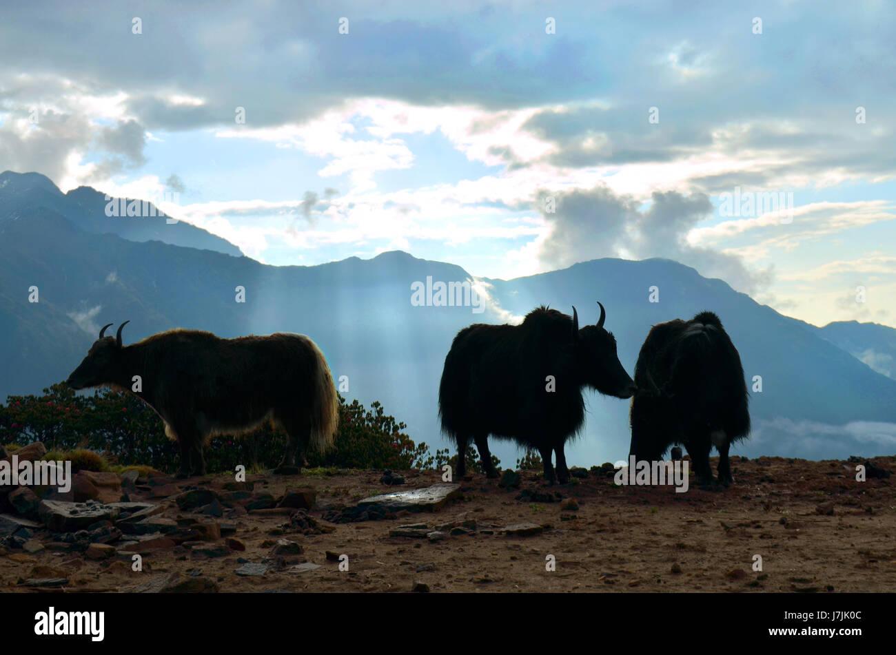 Yaks and beautiful sunrise in Himalayan mountains. Nepal, - Stock Image
