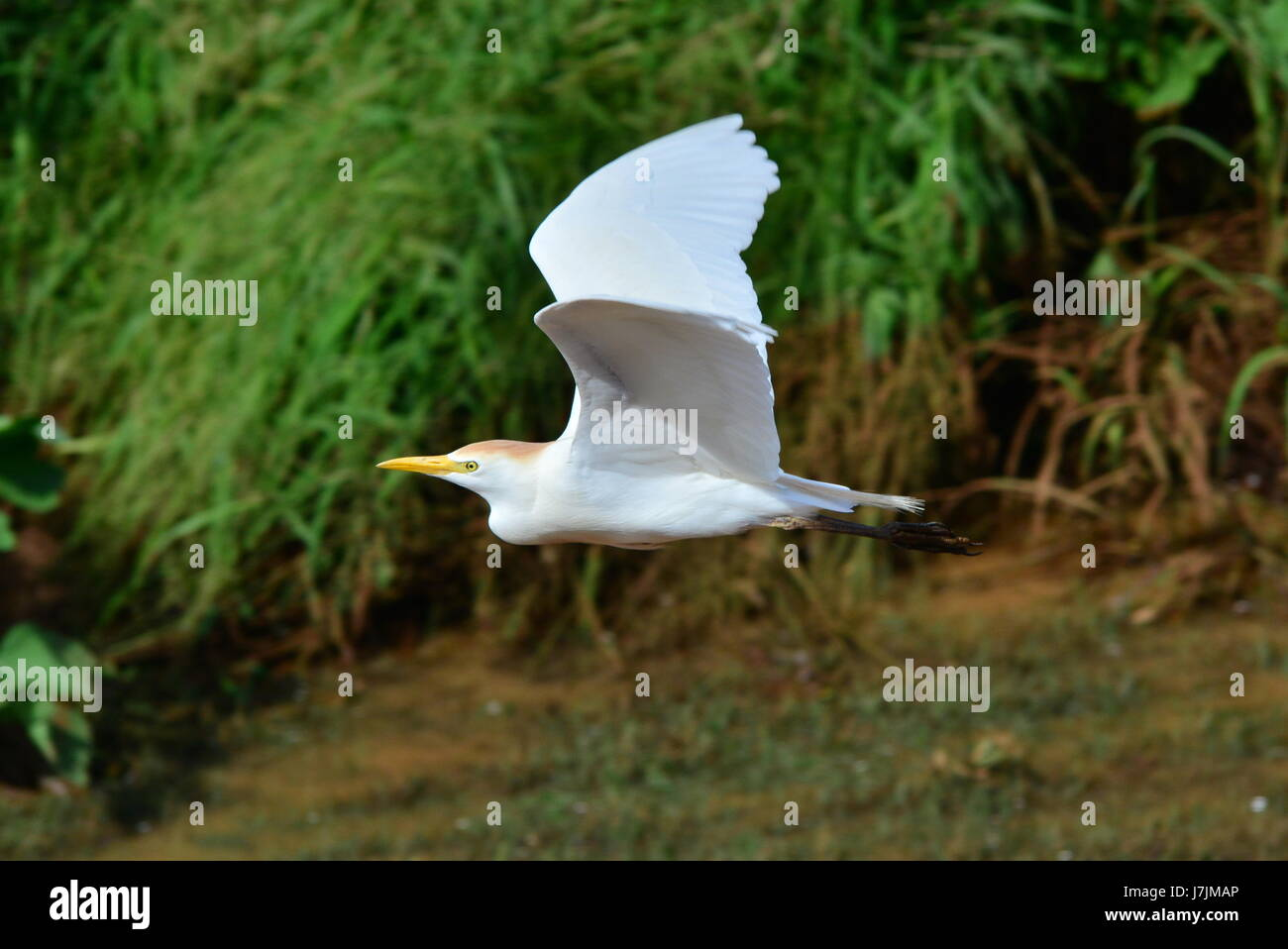 Beautiful Egret in flight and during take off in Hawaii - Stock Image