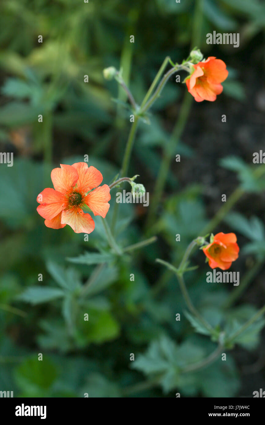 Geum 'Totally Tangerine' plants flowering in a summer garden border. The flowers of the Geum plant are particularly - Stock Image