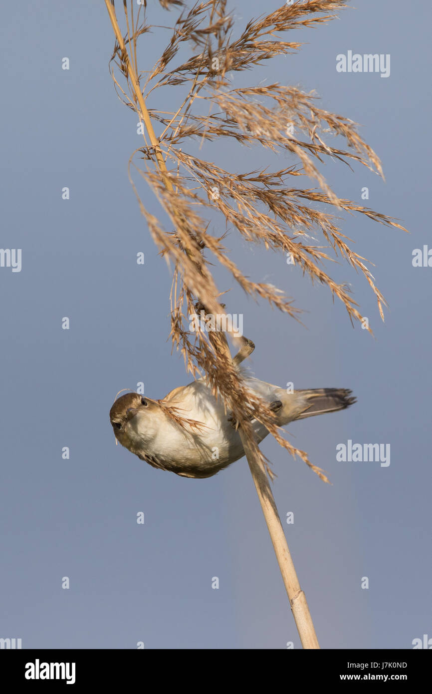 European Reed Warbler (Acrocephalus scirpaceus) collecting nesting material from Phragmites australis seedheads - Stock Image