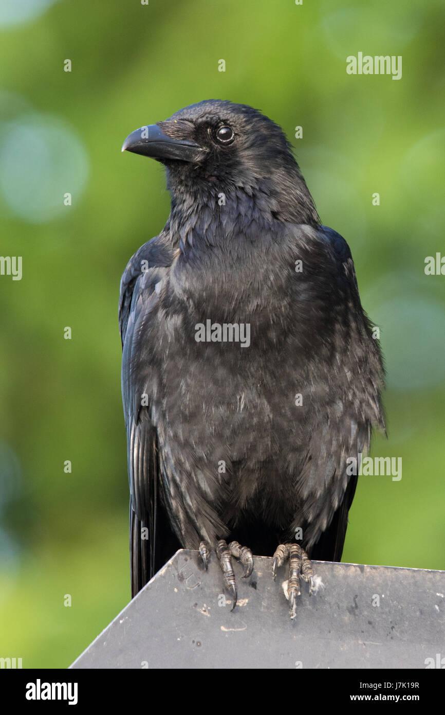 Carrion Crow (Corvus corone) - Stock Image