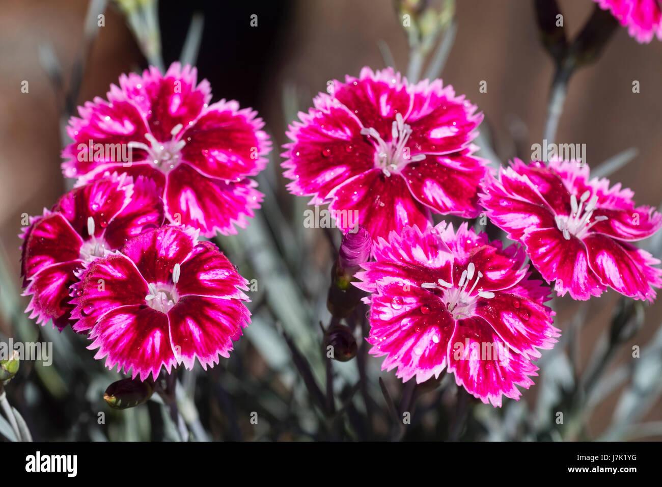 Pink Flowers White Edges Stock Photos Pink Flowers White Edges