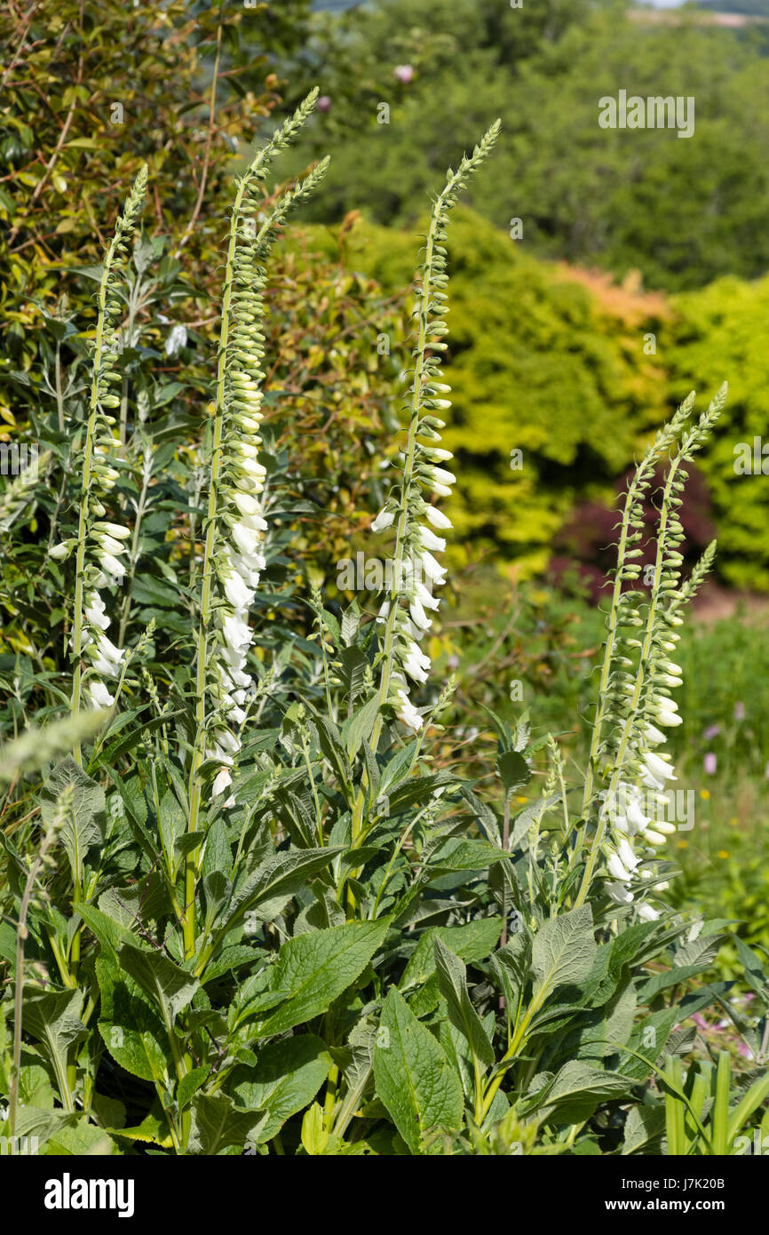 Upright stems hung with white flowers of the selected form of the foxglove, Digitalis purpurea 'Alba' - Stock Image