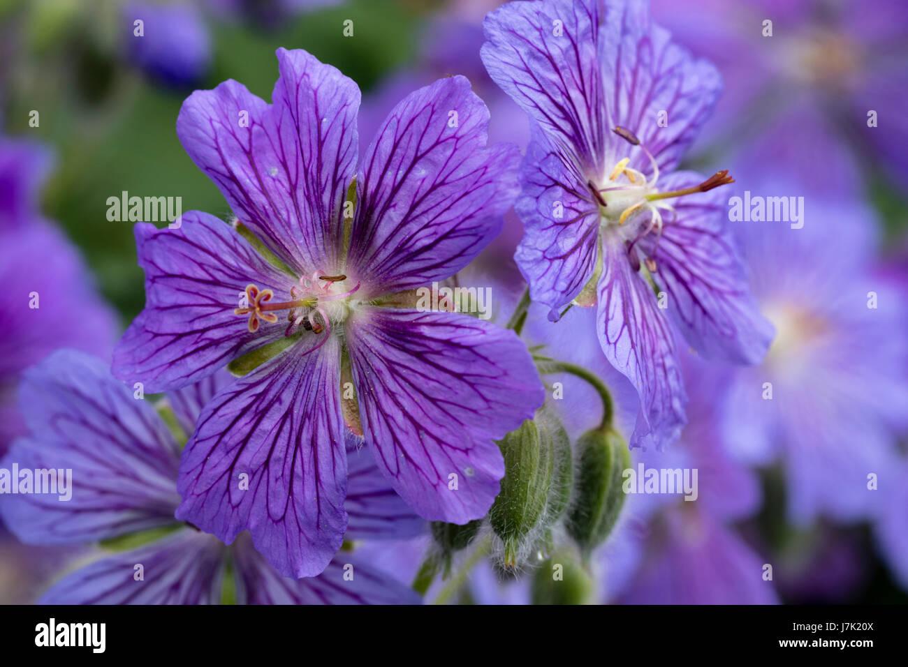 Close up of the flower of the hardy, Geranium renardii hybrid, Geranium 'Skapa Flow', showing the purple - Stock Image