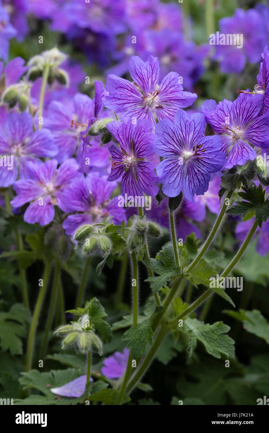 Flowers of the hardy, Geranium renardii hybrid, Geranium 'Skapa Flow', showing the purple nectar guides - Stock Image
