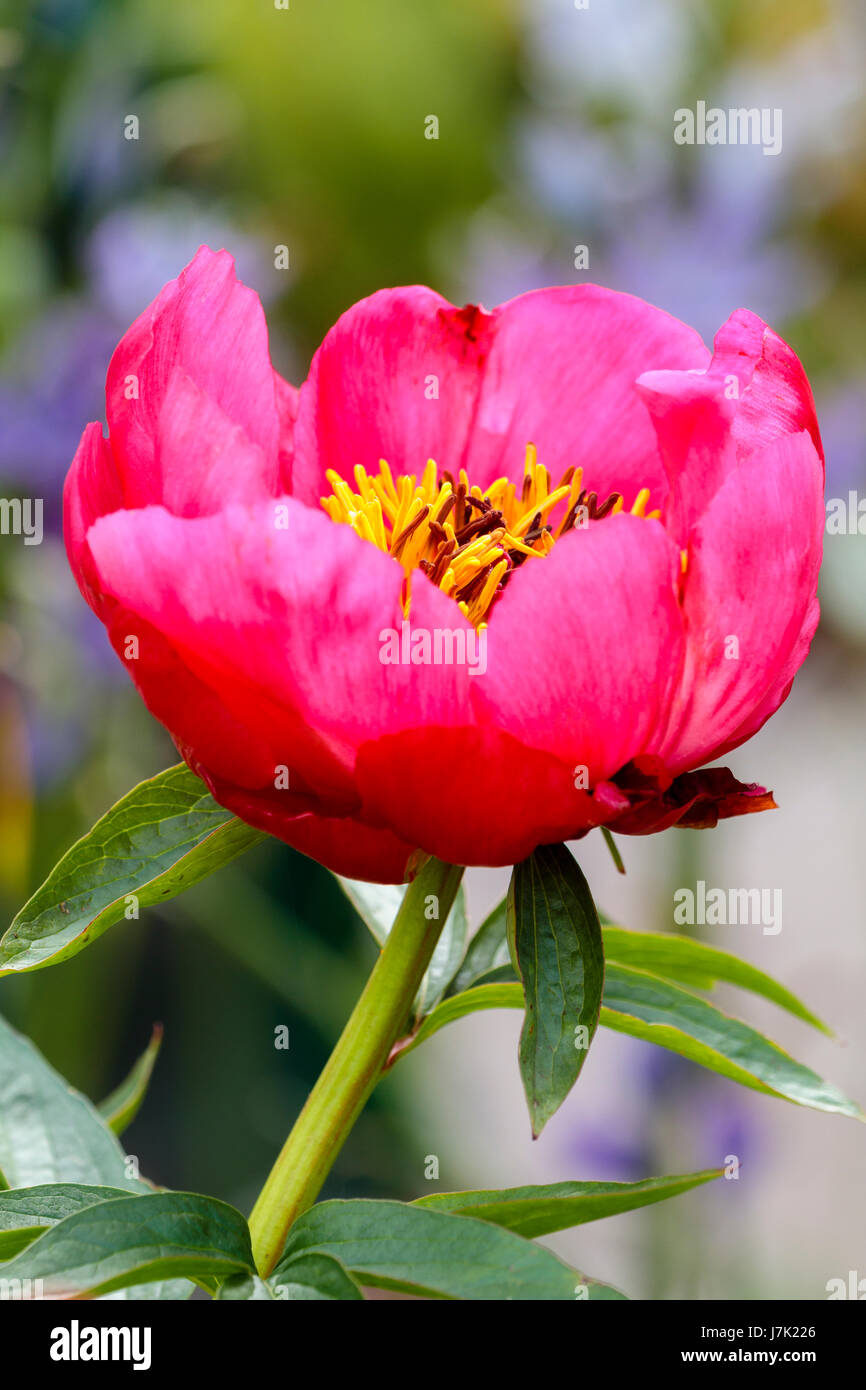 Single Bowl Shaped Red Pink Flower Of The Early Summer Flowering