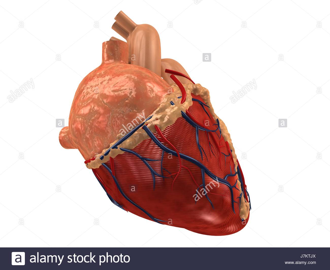 Health Human Human Being Heart Attack Heartbeat Anatomy Organ Body